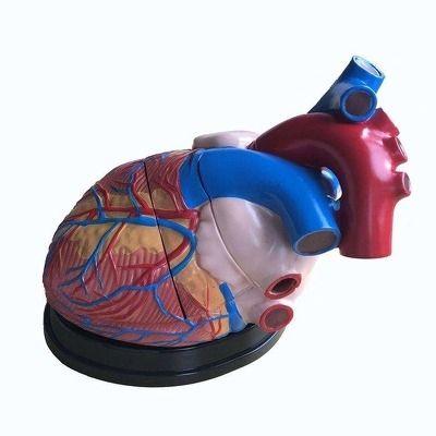 Inima. Model marit la scara 5,1. Model compus din 3 parti