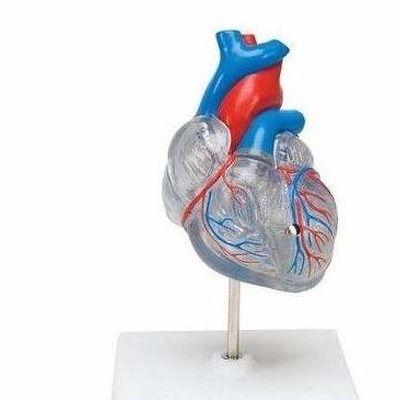 Inima. Sistemul circulator. Model compus din 2 parti