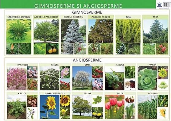 Plansa - Gimnosperme si angiosperme