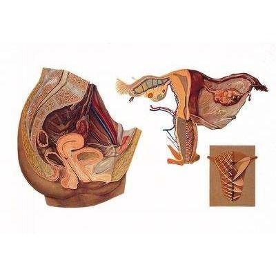 Plansa organele genitale femeiesti