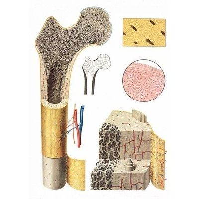 Plansa structura osului
